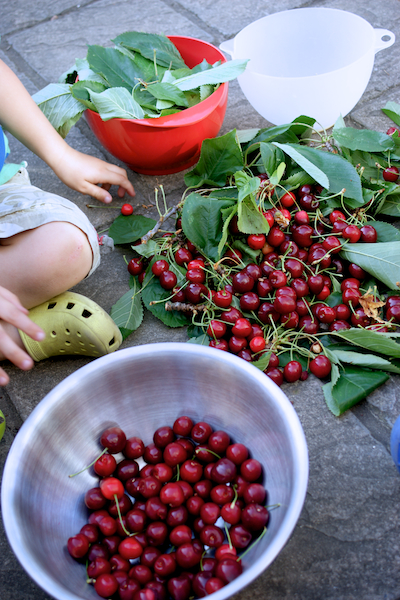 sorting the cherries