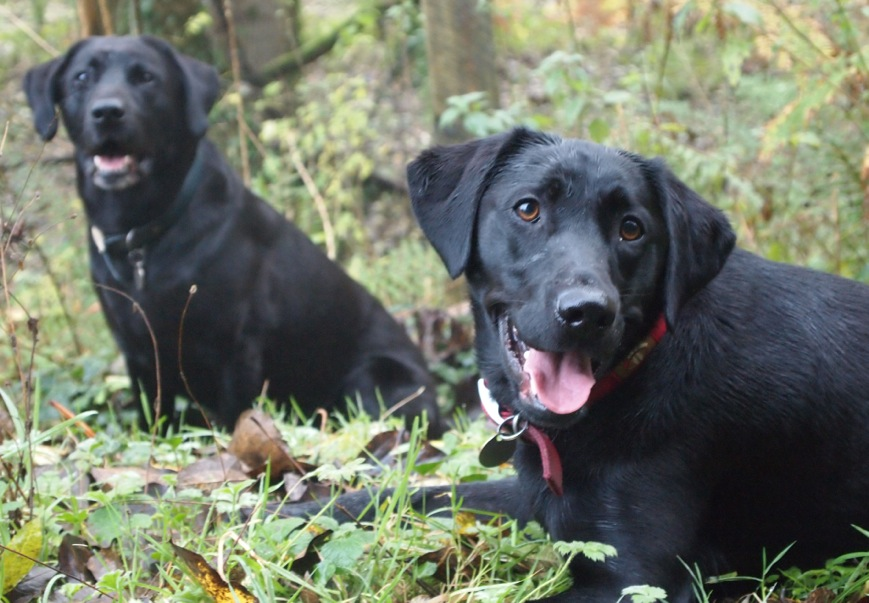 Rescue labs Bailey and Blue